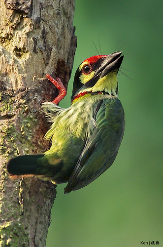 Coppersmith Barbet #2 | by Ken Goh thanks for 2 Million views