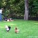 Lawn care chicken patrol 1