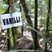 Vanilla crops