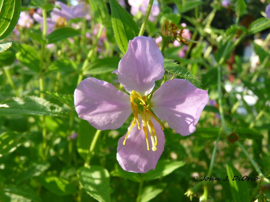 Rhexia mariana var  ventricosa | Rare in NJ, restricted to o