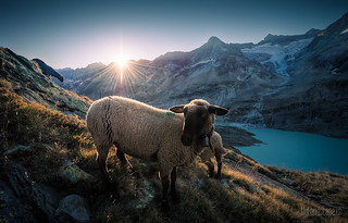 ~ Gauli Glacier: Sheep portrait ~ | by dmkdmkdmk