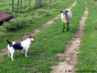 Beagle Bert and Big Chip 1 | by Farmgirl Susan