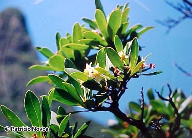 Follaje y flores de Drimys confertifolia