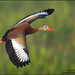 Black-Bellied Whistling Duck banking