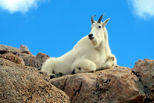 Colorado - Mount Evans: Mountain Goats | by wallyg