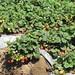 Strawberries in Salinas Valley