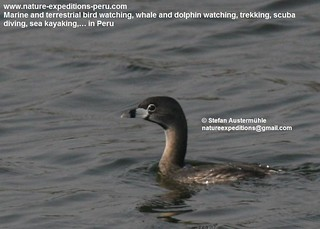 Pied-billed grebe Birding Peru | by Nature Expeditions 06