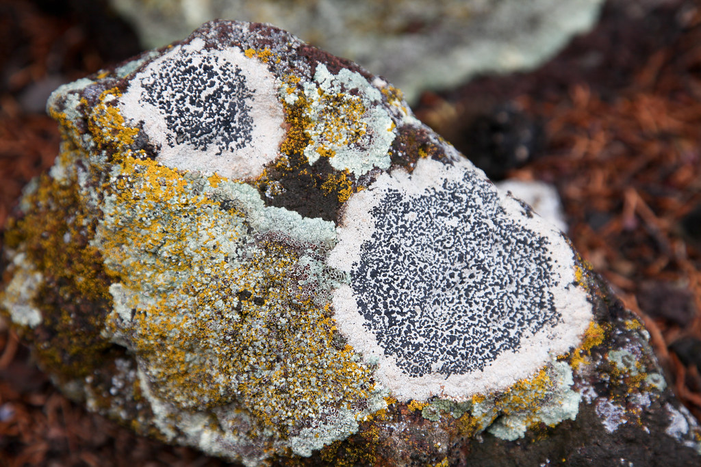 lichens | Lichens on rock. | Jared Tarbell | Flickr