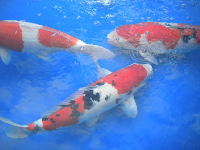 Swimming koi fish flickr photo sharing for Koi fish swimming pool