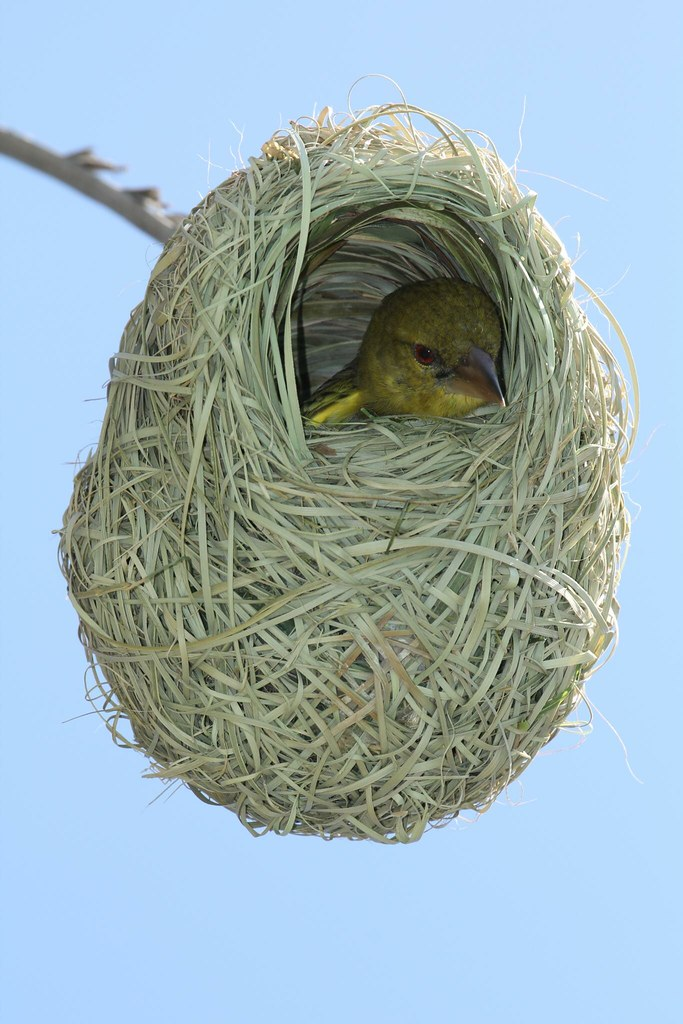 Baby African Weaver Bird In Nest South Africa Eastern Ca