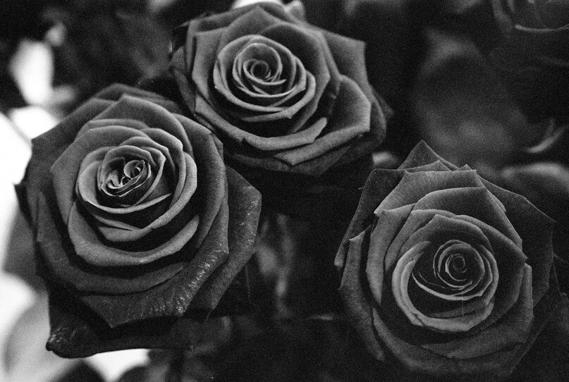 Dark roses olga de benoist flickr for How to make black roses