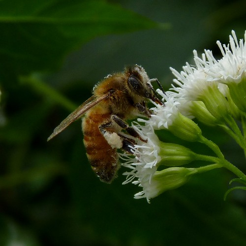 Honeybee on Snakeroot | by Dendroica cerulea