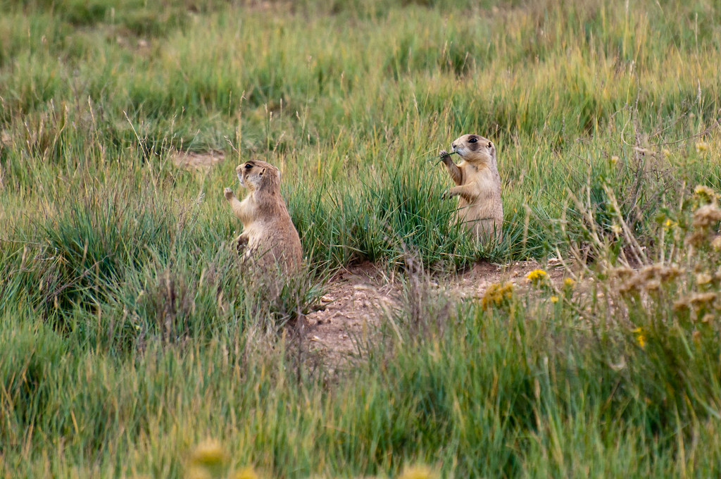 Utah Prairie Dog  Photographed In Bryce Canyon National