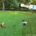 Lawn care chicken patrol 2