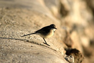 Sandy Wagtail | by Girl In Indigo