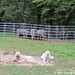 Donkeyland guard dogs 2