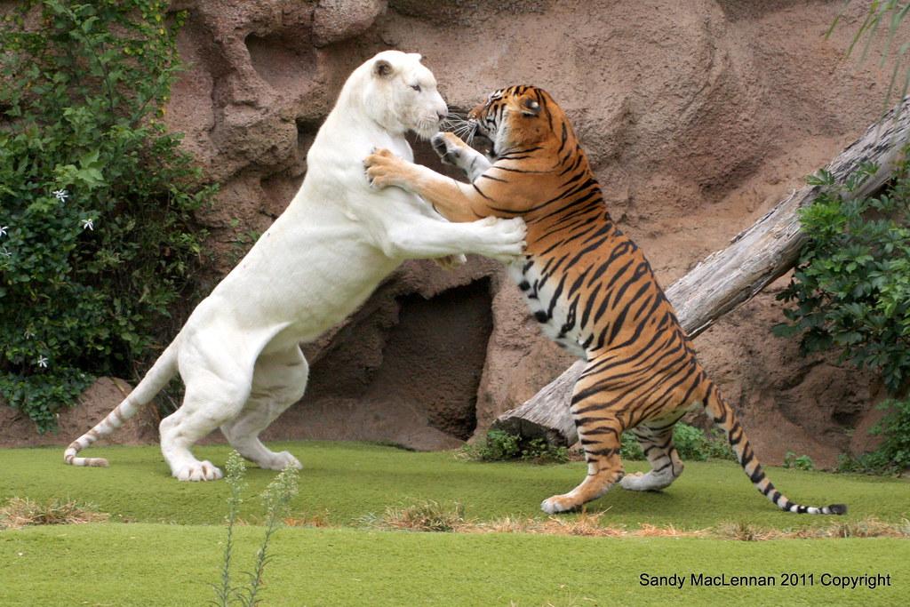Cat Vs Human Fight