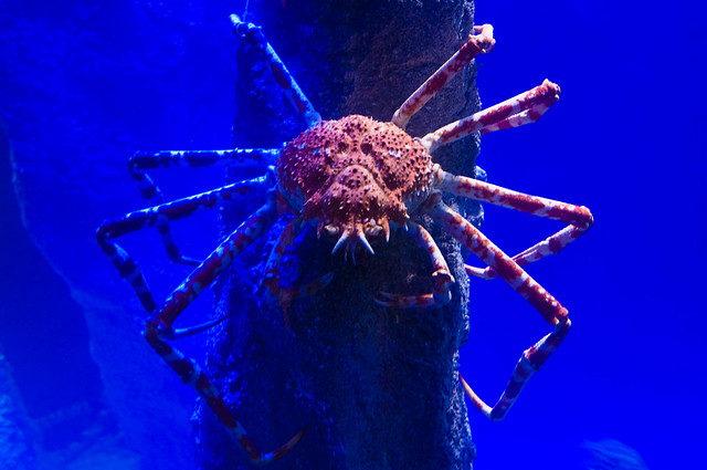 Japanese Spider Crab Flickr Photo Sharing