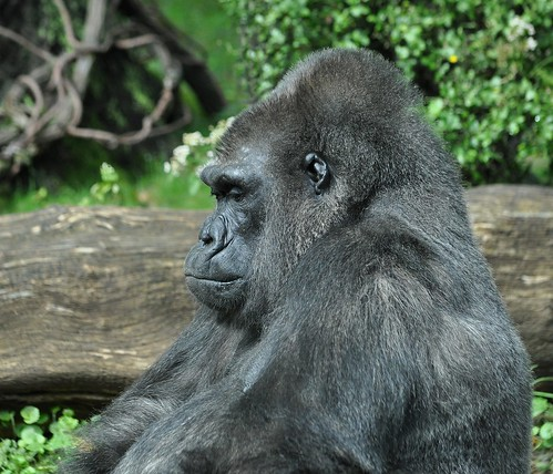 Gorilla | by KoolPix