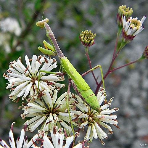 A Carolina mantis waiting for an unsuspecting victim!