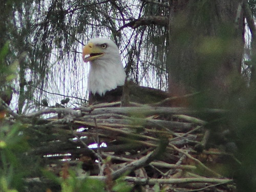 Bald Eagle on nest 2-20111016 | by Kenneth Cole Schneider