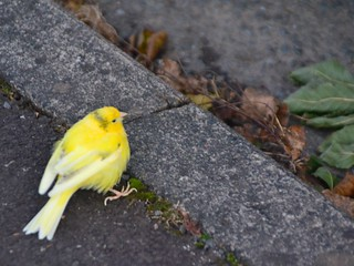 Why did the Canary cross the road? | by bobsfever