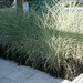 love the miscanthus morning light and black mondo