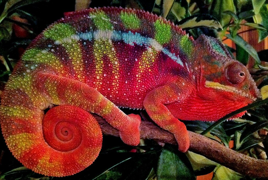 Ambilobe Panther Chameleon   Getting some nice coloration ...