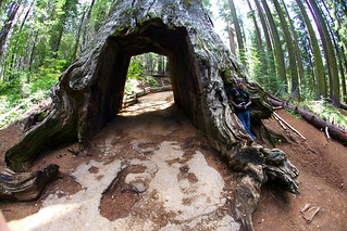"""The Tunnel Tree""  Giant Sequoia in Tuolumne Grove 