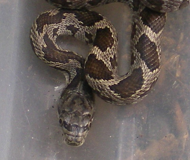 Baby Rat Snake 0005a Flickr Photo Sharing