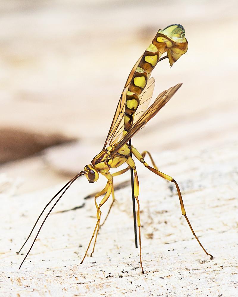 Giant Ichneumon Wasp Ovipositing | Best viewed large. Additi… | Flickr