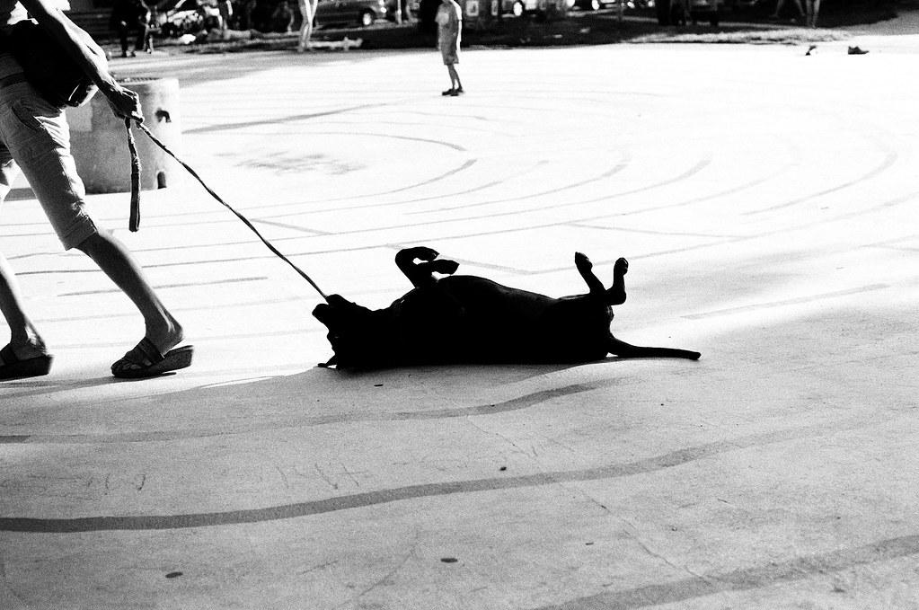Stubborn Dog Quot Walking Quot Dogs At Kensington Market
