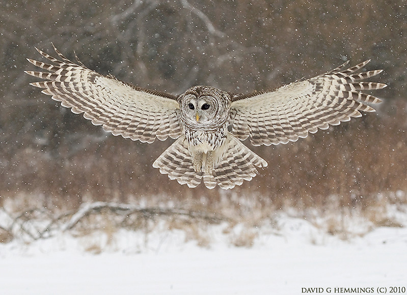 Barred Owl Npa Snowy Owls And More Workshops Coming 2012