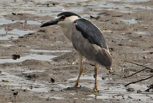 2695 Black-crowned Night Heron (Explored 9/10/11, #198) | by shill718