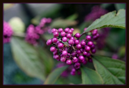 my callicarpa is great this year......and on explore! | by berber hoving