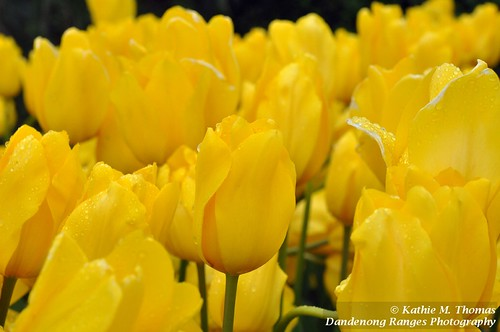 Yellow Tulips | by kathiemt1