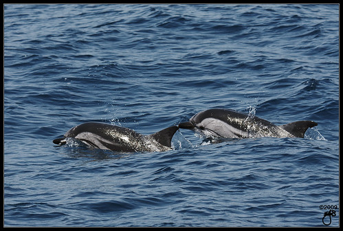 Striped Dolphins VI | by ► Hammer Head ◄