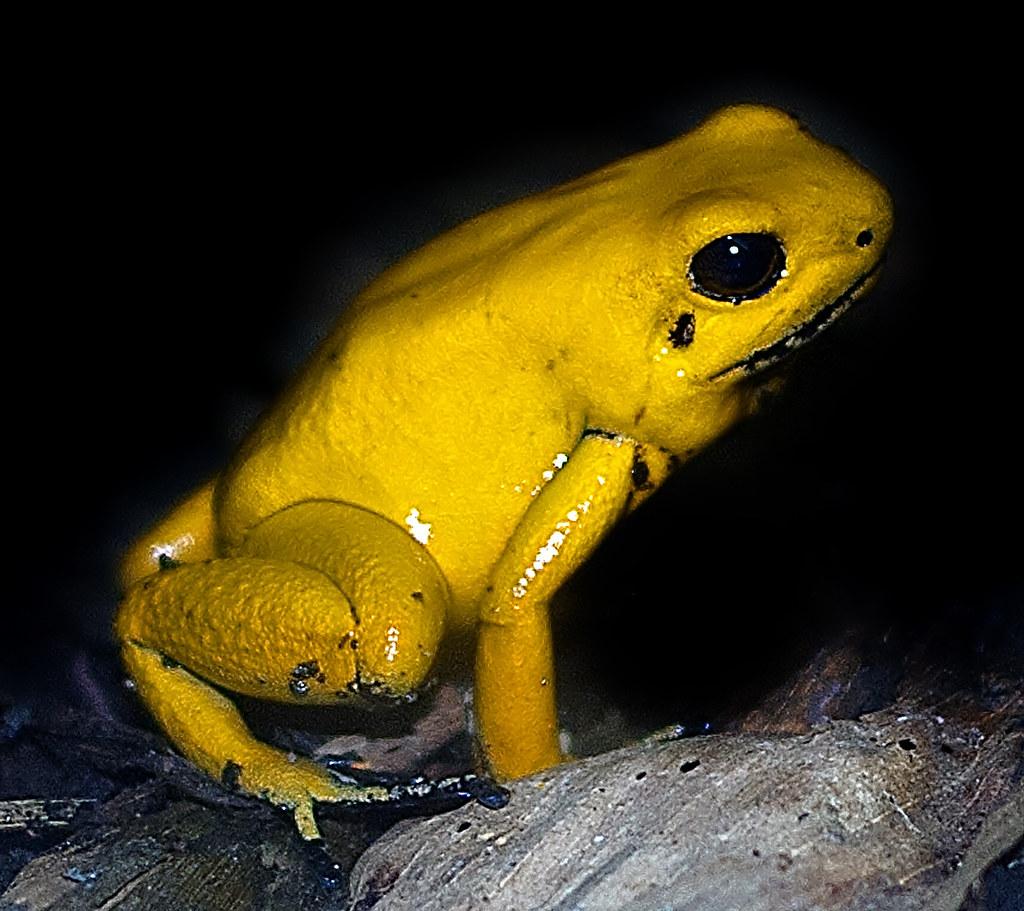 golden poison arrow frog phyllobates terribilis the golde flickr