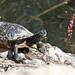 1pond turtle and hook dave harper oakley
