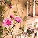 pink rose in magdalen college