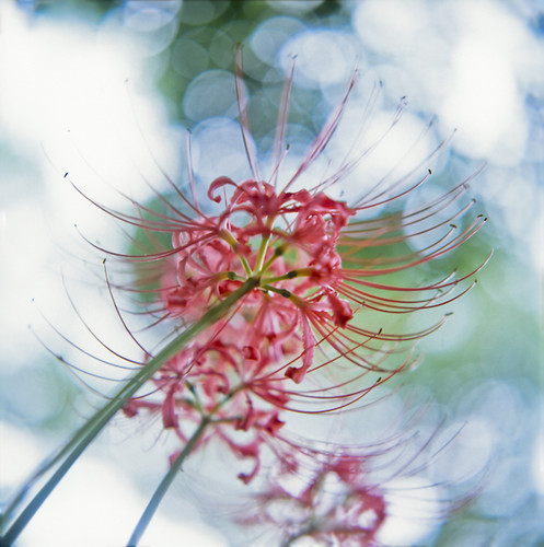 Spider lily | by yocca