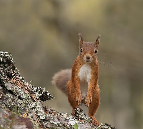 Red Squirrel checking me out (Explored) | by Margaret J Walker