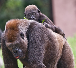 Gorilla Mom Takes Baby for a Walk at Zoo Atlanta, Georgia | by D200-PAUL ** Away on Holiday