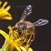 Greedy bee
