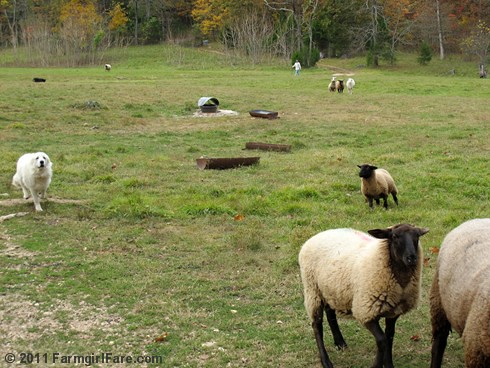 Bringing in the flock for sheep working Sunday 5 | by Farmgirl Susan