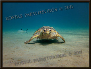 A small loggerhead turtle with remora fish, Zakynthos, September 2011 | by Sea Turtle Photography