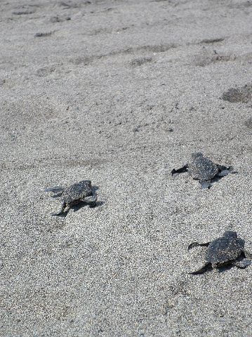Velas Vallarta baby sea turtles | by vallartavelas