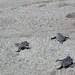 Velas Vallarta baby sea turtles