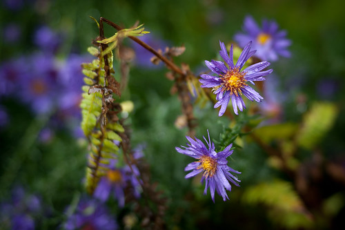 Wet Asters | by goingslowly