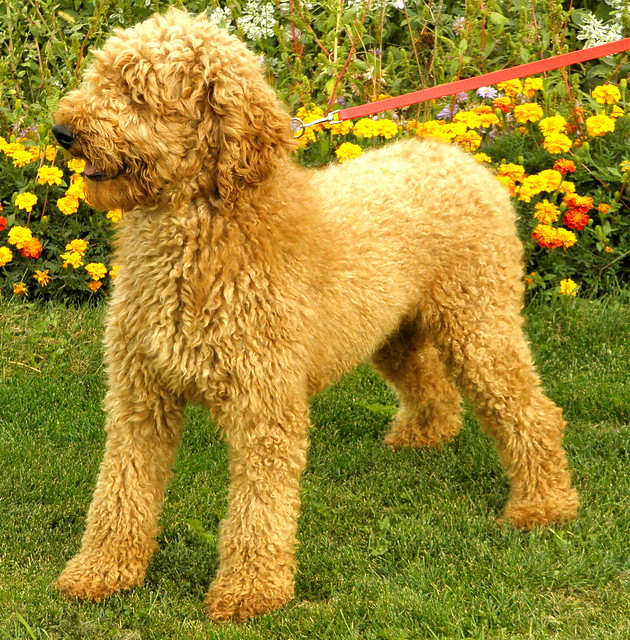 Captain Male Apricot Small Standard Poodle (38lbs) 2 ...